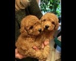 Francuske Toy i patuljaste pudle, prelepi štenci