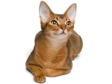 Abisinska mačka