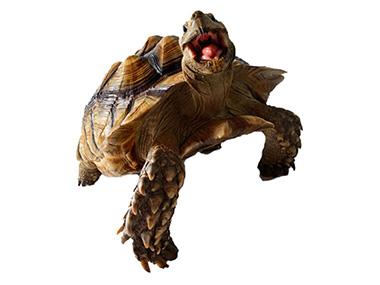 Afrička ostrugasta kornjača