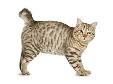 Američka Bobtejl mačka
