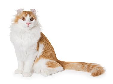 Američka kovrdžava mačka