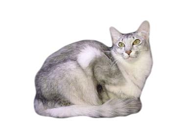 Orijentalna dugodlaka mačka