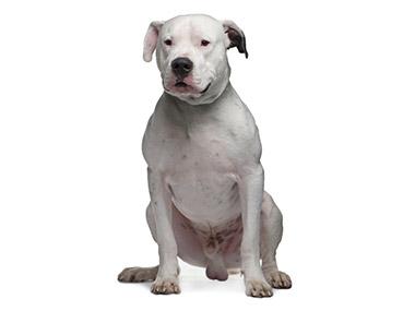 Argentinski pas (Dogo argentino)