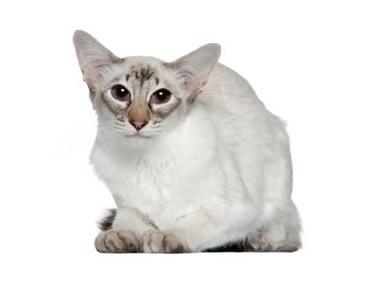 Balineška mačka
