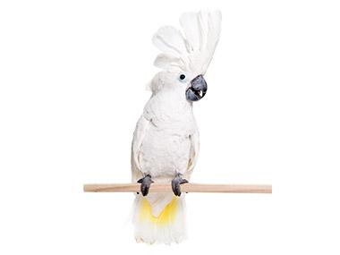 Beloćubi kakadu