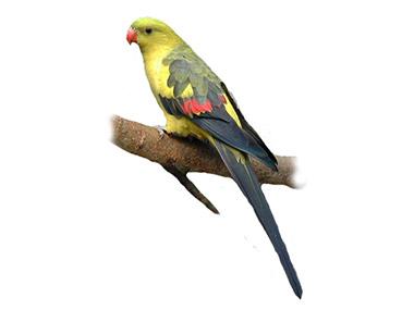 Berg – Brdski papagaj