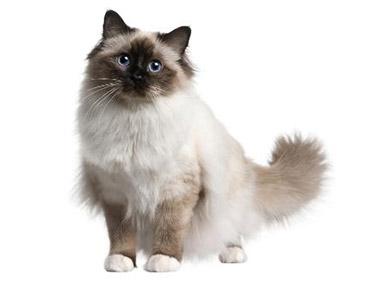 Birmanska mačka