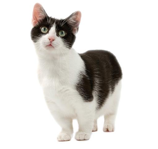 Munchkin mačka