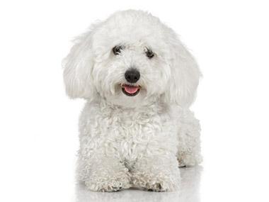 Bolonjski pas (Bolonjezer)