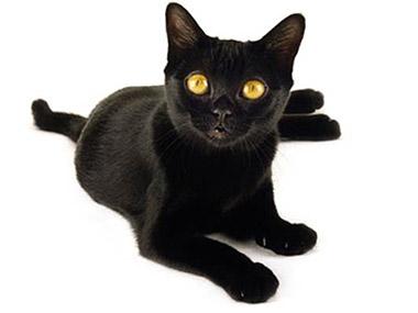 Bombaj mačka