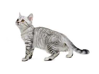 Burmila mačka