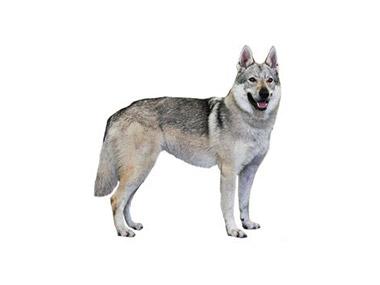 Češkoslovački vučiji pas