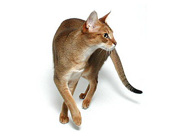 Chausie mačka