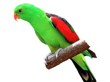 Crvenokrili papagaj