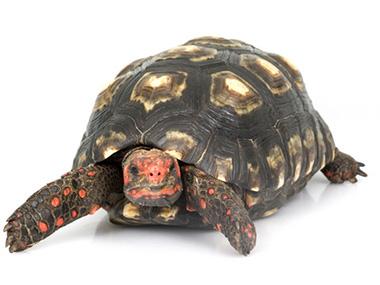 Crvenonoga kornjača