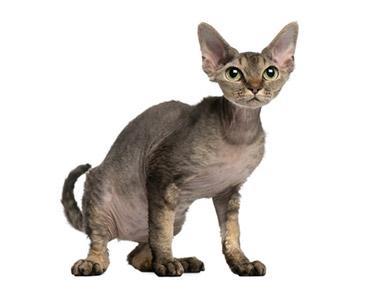Devonska rex mačka