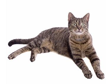 Domaća evropska mačka