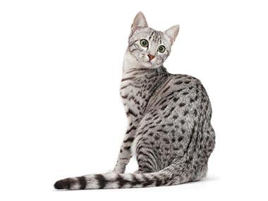 Egipatska Mau mačka
