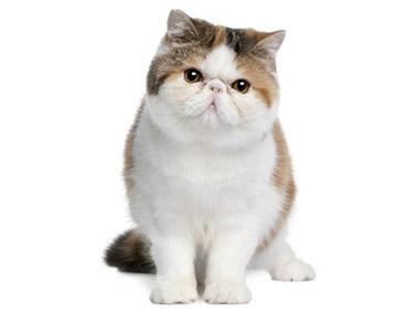 Egzotična kratkodlaka mačka