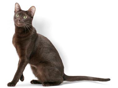 Havana mačka