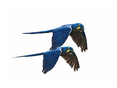 Hijacintna ara