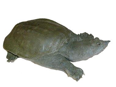 Kineska mekooklopna kornjača