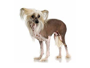 Kineski ćubasti pas