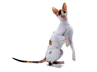 Kornvalska rex mačka