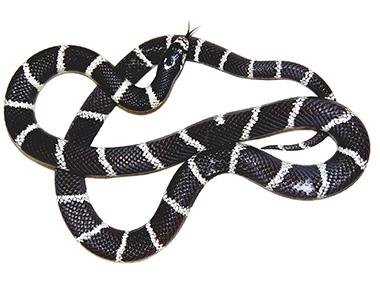 Kraljevska zmija