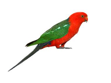 Kraljevski papagaj