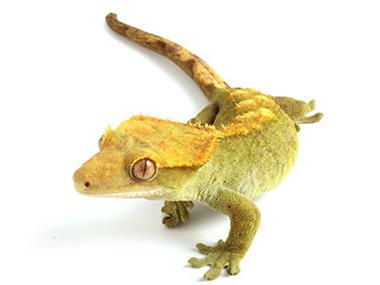 Krestasti gekon