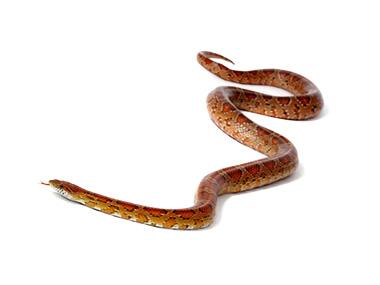 Kukuruzna zmija