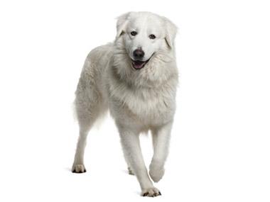 Maremano abruceški pastirski pas