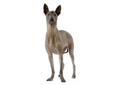 Meksički golokži pas