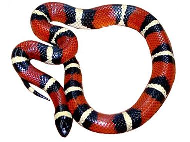 Honduraška mlečna zmija