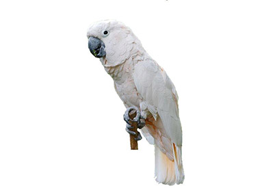 Molučki kakadu