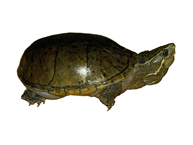 Mošusna kornjača