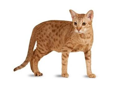 Ocicat mačka