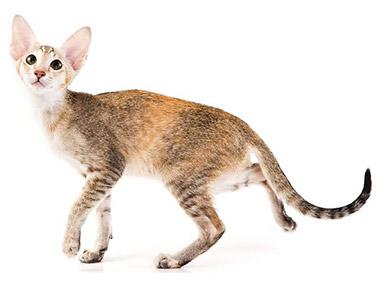 Orijentalna kratkodlaka mačka