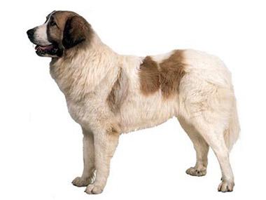 Pirinejski mastif