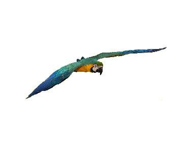 Plavo-žuta ara