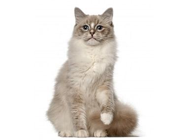 Ragdol mačka