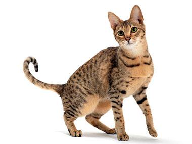 Savana mačka