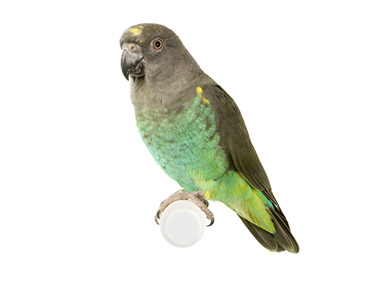 Senegalski papagaj