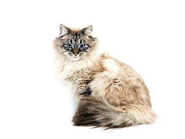 Sibirska šumska mačka