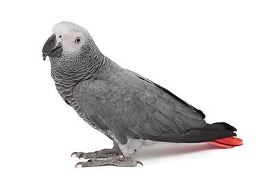 Afrički sivi papagaj Žako