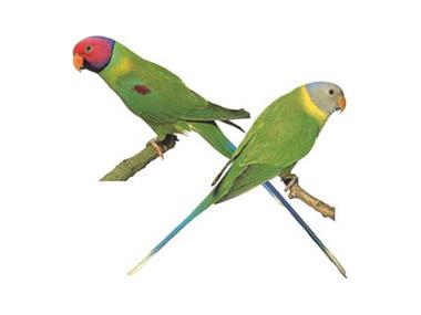 Šljivoglavi papagaj