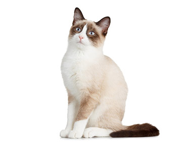 Snowshoe mačka