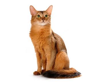 Somalijska mačka (Somali)
