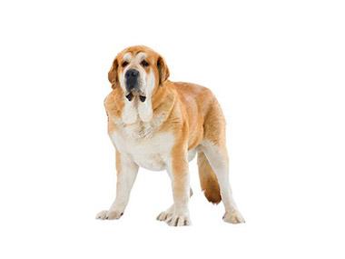 Španski mastiff